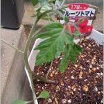 フルーツトマト 栽培