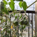 フルーツトマト 収穫時期